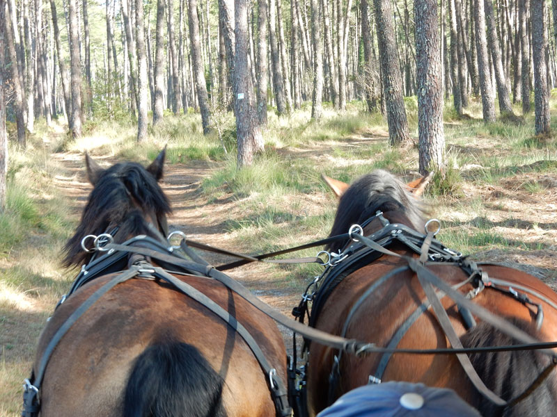 Balades en calèche en forêt Landaise